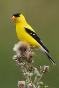 The American Goldfinch is Morgantowns City Bird